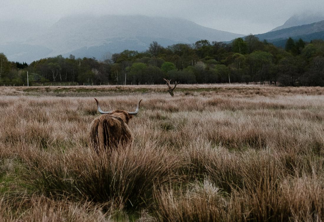 anna rusilko fotografia photography szkocja scotland podróż travel road trip cow